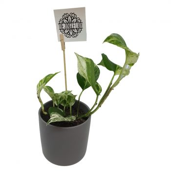 Pothos Devil Ivy Marble Queen - Boxed Indulgence