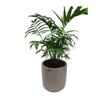 Jungle Lady Parlour Palm - Boxed Indulgence